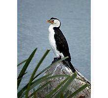 Little Pied Cormorant Photographic Print