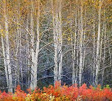 aspens and autumn rose and briar by R Christopher  Vest