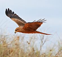Black Kite ~ Searching  by Robert Elliott