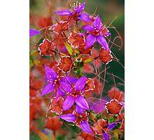 Purple Calytrix, Stirling Ranges Photographic Print