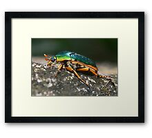 Jewel beetle, Daintree Framed Print