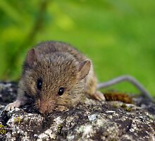 Little mouse by Marko Palm