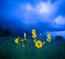 Yellow Flowers Blue Sky  by Syman  Kaye