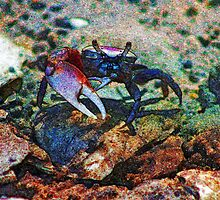 Fiddler Crab on the Rocks  by Cynthia Pulsifer Photography