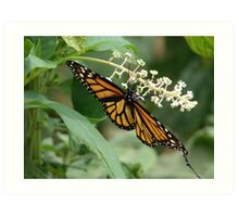 Monarch of the garden Art Print