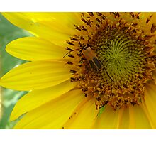 Sunflower bug Photographic Print