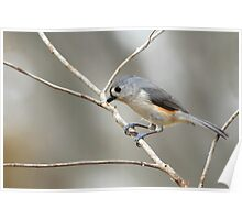 Tufted Titmouse on Winter Day Poster