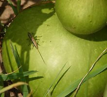 Grasshopper on Gourd by inventor
