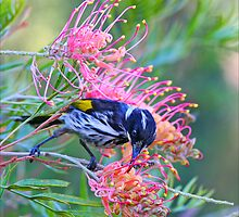 New Holland Honeyeater by Michael Daniel