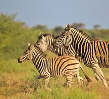 Zebra Run - African Wildlife - Following the Leader by LivingWild