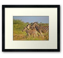 Zebra Run - African Wildlife - Following the Leader Framed Print