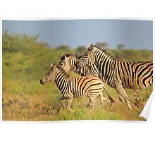 Zebra Run - African Wildlife - Following the Leader Poster