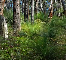 Grass trees by Peter Hammer