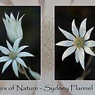 Wonders of Nature - Sydney Flannel Flower by Ben Shaw