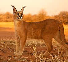 Caracal 4 by Marie Holding