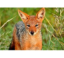 Young black backed Jackal Photographic Print