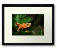 Golden Mantella 2 Framed Print
