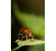 Orange Beetle Photographic Print