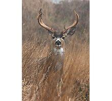 Black Tailed Buck Photographic Print