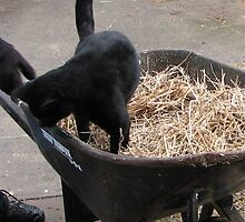 Kitty in Wheelbarrow by amiss