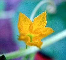 Armenian Cucumber Flower by jansant