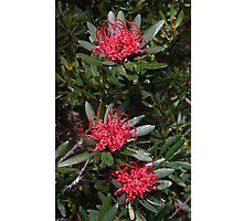 Tasmanian waratah (Telopea truncata) Photographic Print