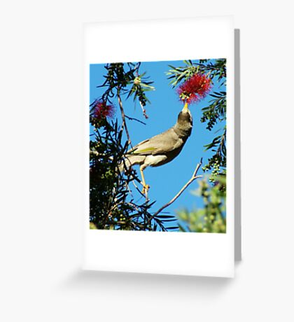 Noisy Miner eating Greeting Card