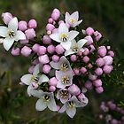 Tasmanian native boronia by Christine Beswick