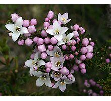 Tasmanian native boronia Photographic Print