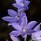 Spotted Sun Orchid by ChrisRoss