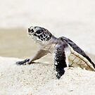 Baby green sea turtle by David Wachenfeld