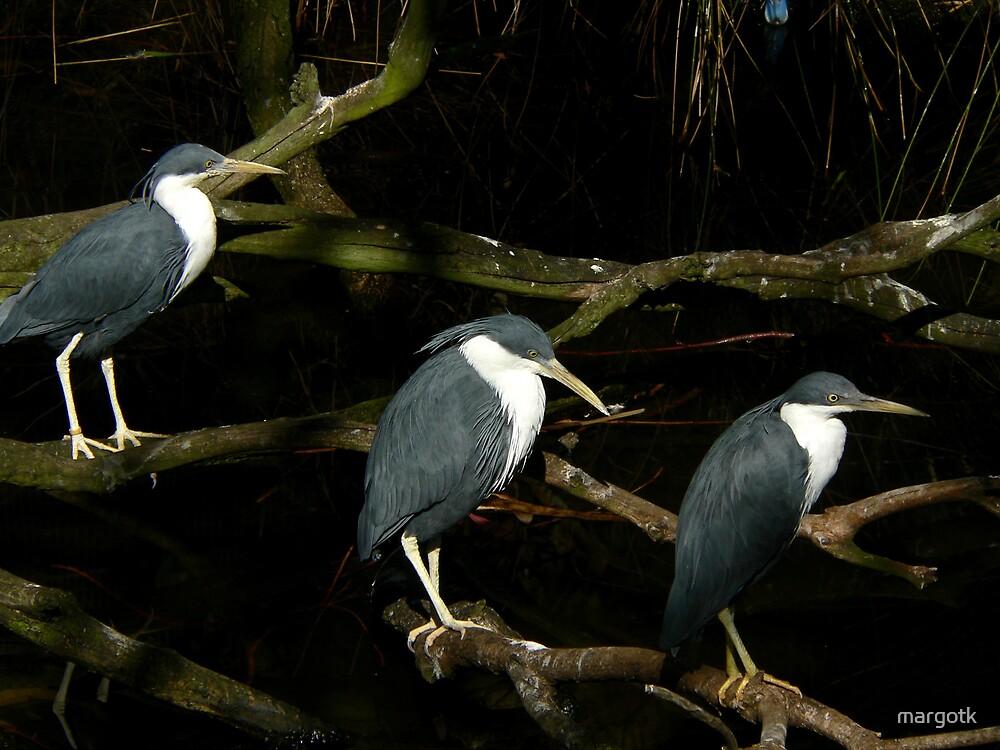 Pied Herons by margotk