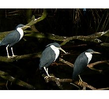 Pied Herons Photographic Print