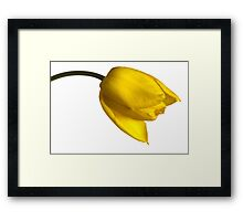 Tulipa 'Yellow Purissima' Framed Print