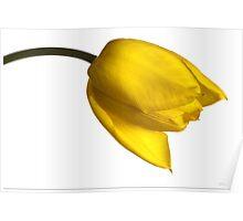 Tulipa 'Yellow Purissima' Poster