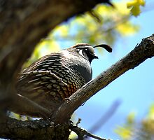 California Quail by Ryan Houston
