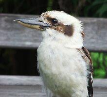 Kookaburra by Coralie Plozza