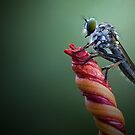 Robber Fly by Bobby McLeod