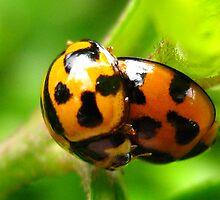 beetles bonking by Belinda Cottee