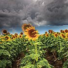 Sunflowers and Storms Darling Downs Qld Australia by Beth  Wode