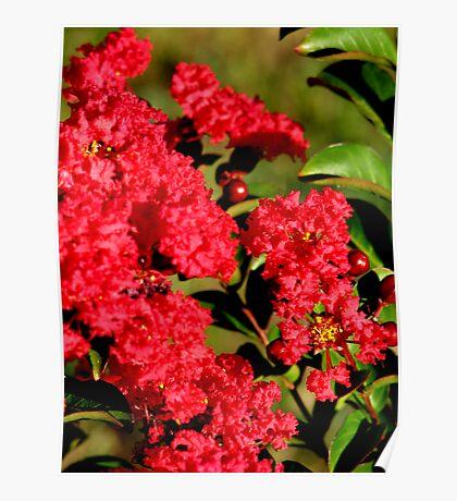 Red Crepe Myrtle Poster