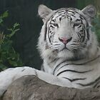 Rare White Tiger by Beaner