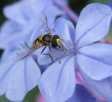 hoverfly lunching by firofotos
