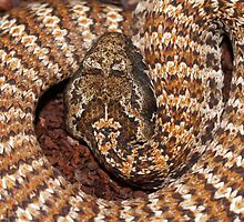 Australian Death Adder by Steve Bullock