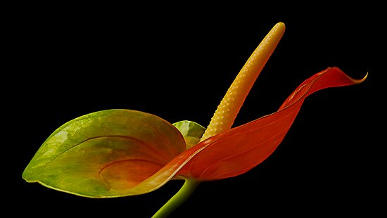 Anthurium by Margaret Barry