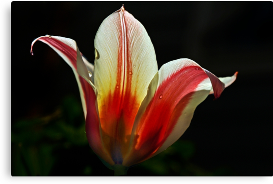 A tulip in the sunlight by cclaude