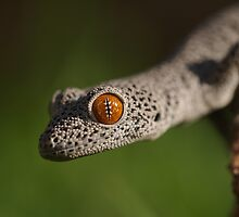 Golden Tailed Gecko by Steve Bullock