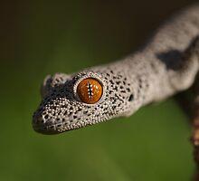 Golden Tailed Gecko by Steve Bullock