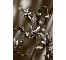 Kangaroo Paw Photographic Print