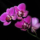 Orchids by dumbomsa
